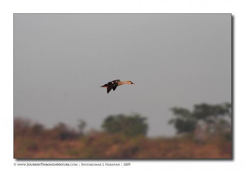 spot billed duck tghalli