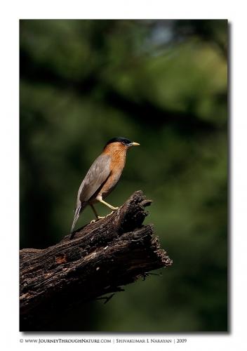 starling bharatpur