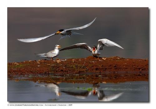 tern feeding tghalli