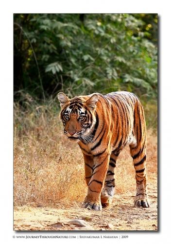 tiger cub cat walk