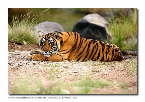 tiger pensive mood