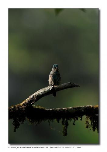 verditer flycatcher pangot