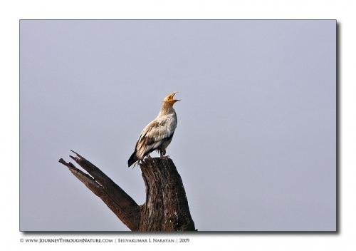 vulture call bharatpur