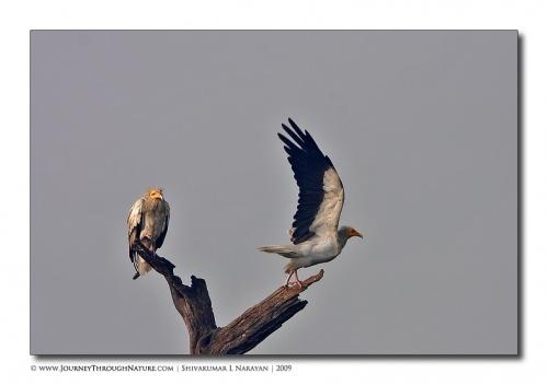 vulture pair bharatpur