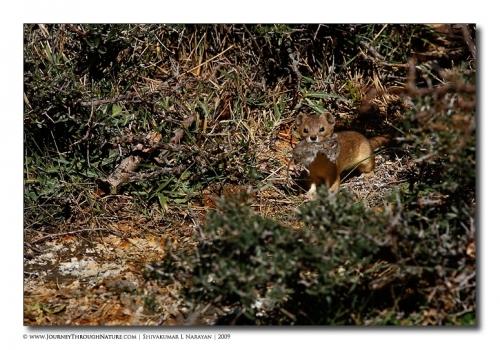 weasel kill ladakh