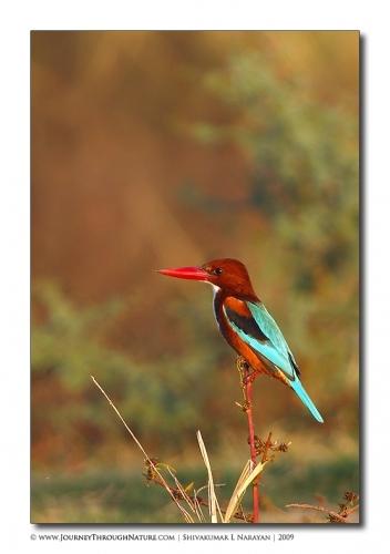wt kingfisher bharatpur